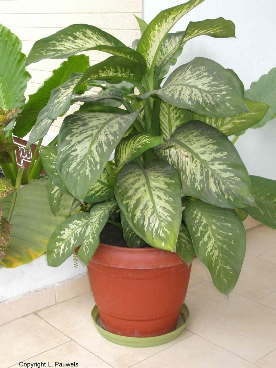 Amazing House Plants Pictures Non Flowering Identify Of Common Poisonous To Common House Plants Pic