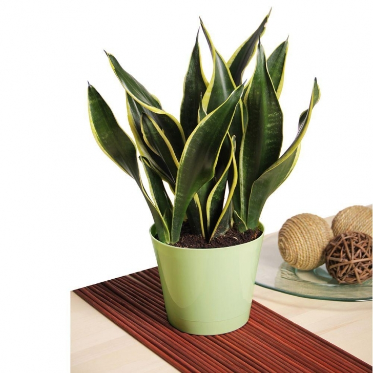 Amazing Snake Plant-Snkplt - The Home Depot Pictures Of House Plants Pic