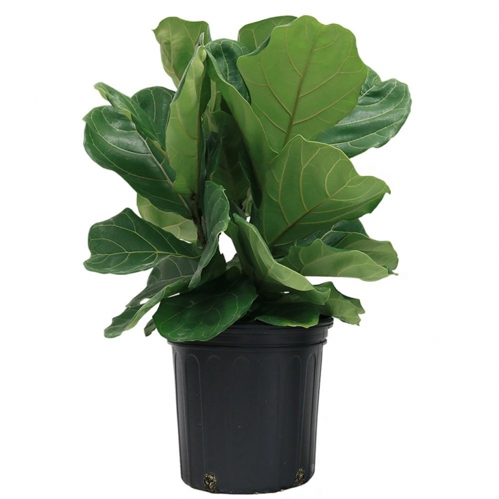 Awesome Costa Farms Ficus Lyrata, Fiddle-Leaf Fig Floor Plant In 8.75 In Home Depot House Plants Picture