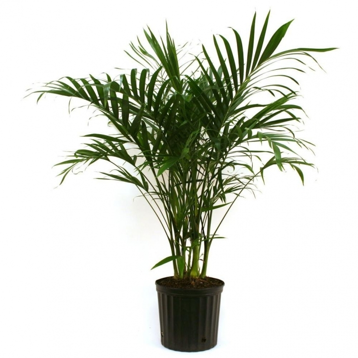 Best Costa Farms Cateracterum Palm In 9.25 In. Grower Pot-10Cat - The Home Depot House Plants Photo