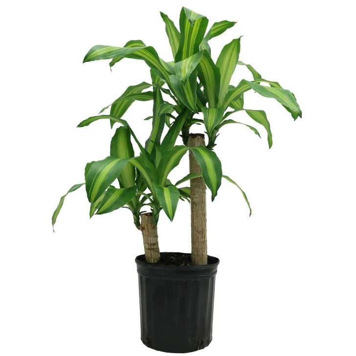 Brilliant Costa Farms Mass Cane In 8.75 In. Grower Pot-10Mc2 - The Home Depot Home Depot House Plants Pic
