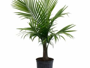Classy Costa Farms Majesty Palm In 9.25 In. Grower Pot-10Maj - The Home Depot Palm House Plants Photo