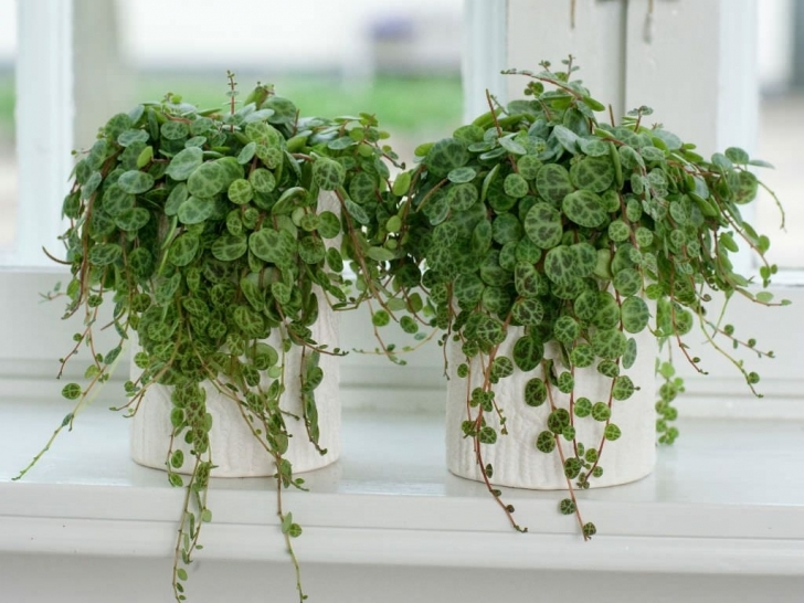 Classy Peperomia Prostrata | Peperomia | Pinterest | Plants, Leaves And Vining House Plants Photo