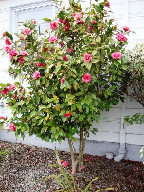 Exquisite Danger Garden: Buh-Bye Camellia Small Trees To Plant Near House Photo