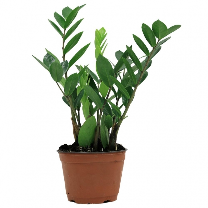 Fantastic Costa Farms Zz Plant In 6 In. Grower Pot-6Zz - The Home Depot Home Depot House Plants Image