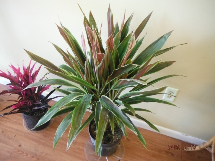 Fascinating Hold | Exotica Tropicals – Tropical Plants Nursery In Brevard County House Plants For Sale Picture
