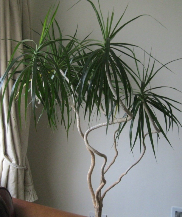 Image of Large House Plants | In Hoghton, Lancashire | Gumtree Large House Plants Pic