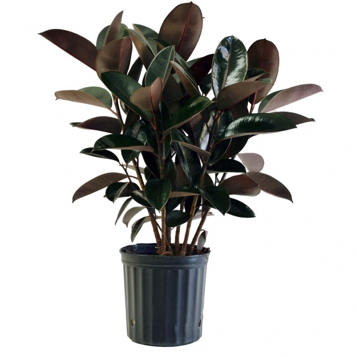 Interesting Costa Farms Burgundy Rubber Plant In 8.75 In. Pot-10Burg - The Home Home Depot House Plants Pic