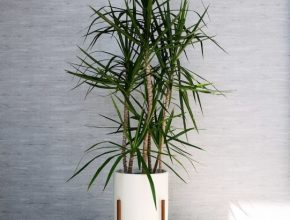 Interesting The Best Indoor Trees (And Big Plants) To Grow In Your Living Room Tall House Plants Image