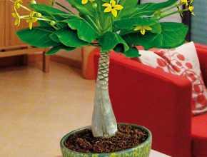 Outstanding Buy House Plants Now Hawaiian Palm | Bakker Hawaiian House Plants Pic