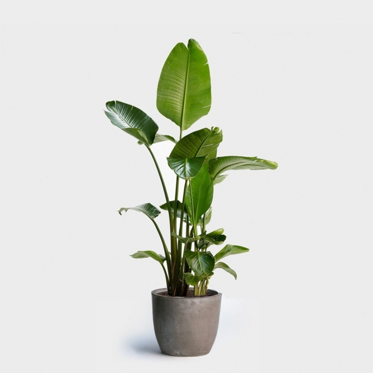 Popular Buy Indoor Plants Online At These Stores - Curbed Large House Plants For Sale Image