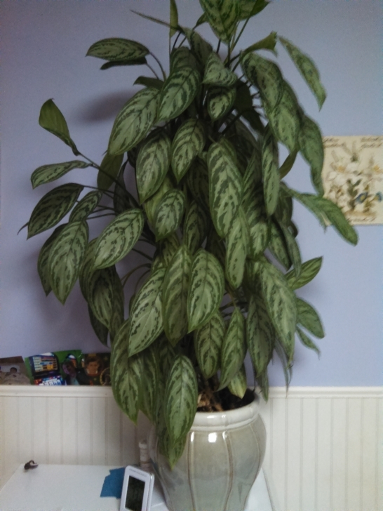 Remarkable Identify Houseplants - Chinese Evergreen | Askjudy@houseplant411 Identifying House Plants Picture