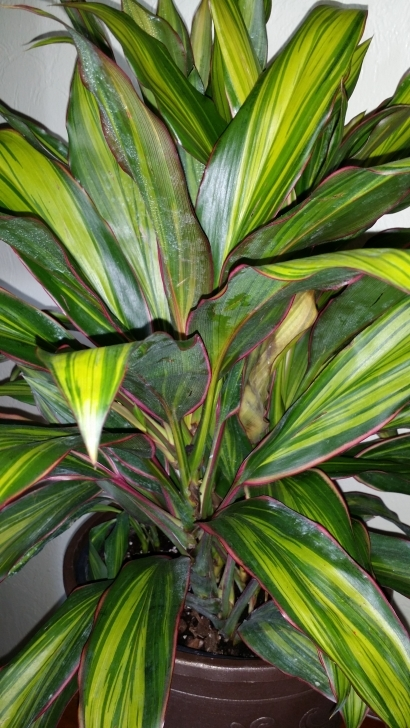 Top Hawaiian Ti Plant - Identify Houseplants - Houseplant411 Hawaiian House Plants Pic