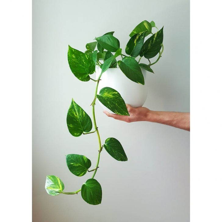 Cool 5 Gorgeous Indoor Vines To Grow In Your Home Vining House Plants Picture