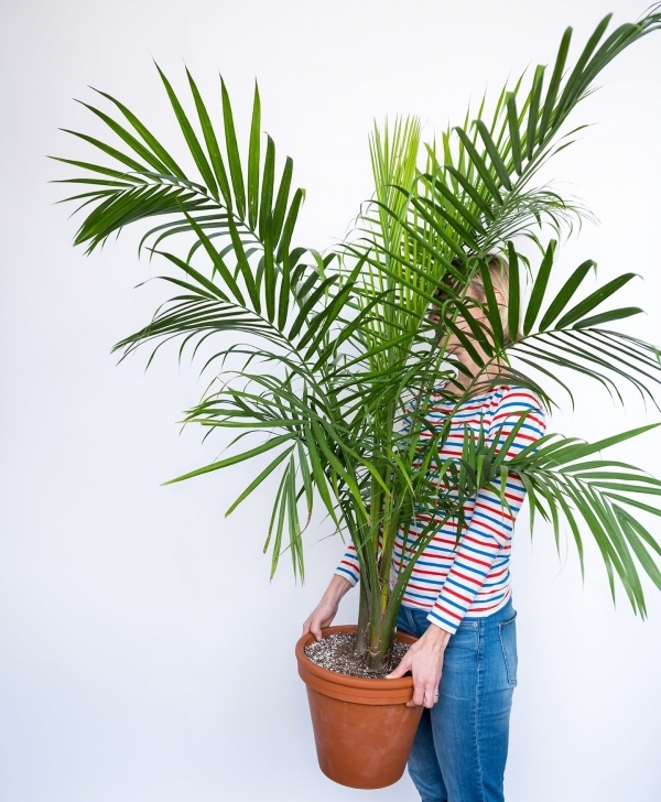Latest Buy Large, Potted Majesty Palm Indoor Plant   Bloomscape Palm House Plants Pic