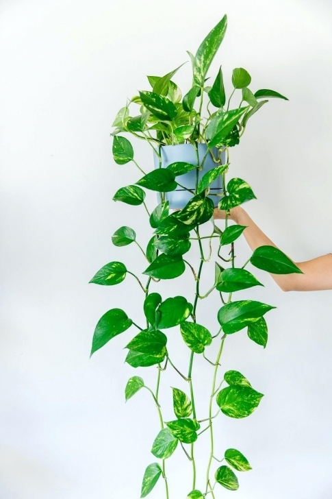 Remarkable Vining House Plants Low Light Types Of Houseplants Identification Vining House Plants Pic